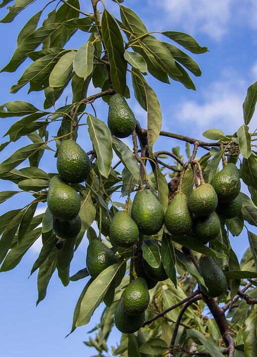 Hass Avocado Investment
