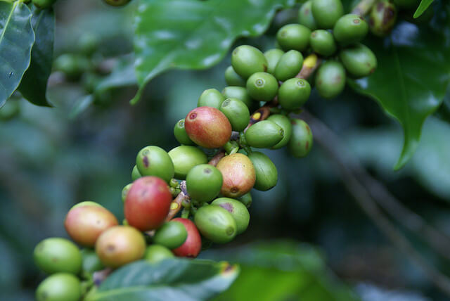 coffee plantation investment